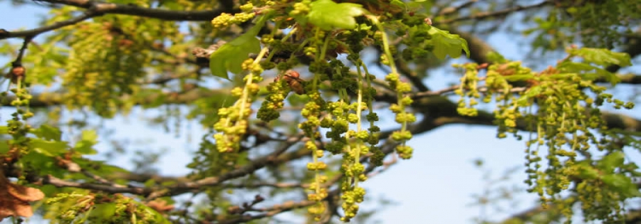 Male flowers of oak