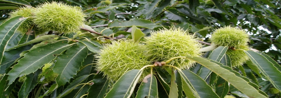 Maturing fruits on sweet chestnut