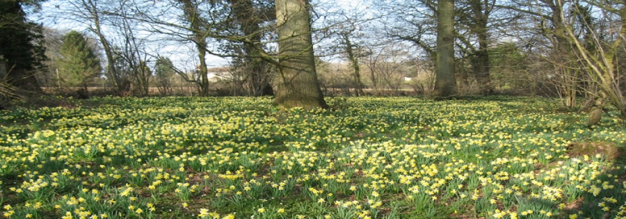 Seed stand of oak with daffodils