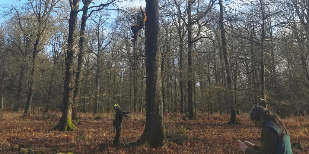 Scaling an oak plus tree in the New Forest