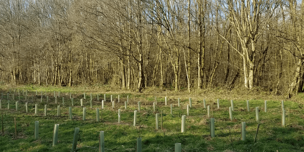 tree planting at our oak archive site in Kent